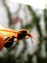 Guatemalan Sompopo Ants