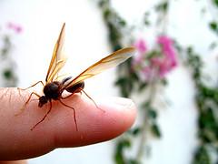 Sompopo: Giant Guatemalan Ant